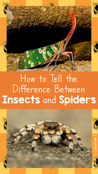 What is the difference between an insect and a spider? They are both arthropods and we call them both bugs... but spiders and insects are two completely different species. When looking at a 'bug' and trying to figure out if it's an insect or a spider, you need to look at the number of legs, body segments, eyes, and appendages. Read on to learn more about how to identify insects and spiders. #kellysclassroomonline