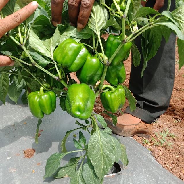 TOMATO व SHIMALA MIRCHI साठि 🍅 काेन काेनते  औषधे मिक्स करु शकता.🍅 tomato ani shimala mirchi sathi aushadh kase v konte mix karave