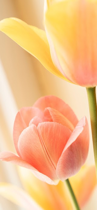 Yellow tulip flowers in bloom wallpaper