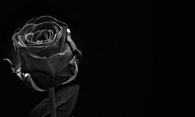 gambar bunga mawar yg indah