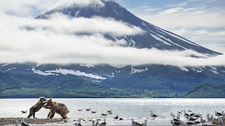 Bears fighting on the edge of a lake with a volcano in the background