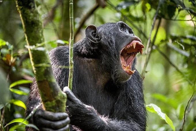 Gombe Şempanze Savaşı