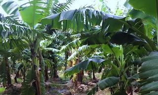 केले की खेती के लिए टॉप पांच किस्में kele ki unnat kisme जिनका उत्पादन ज़बरदस्त और लागत बहुत कम।