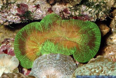 coral Trachyphyllia geoffroyi