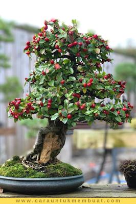 Bonsai Apel