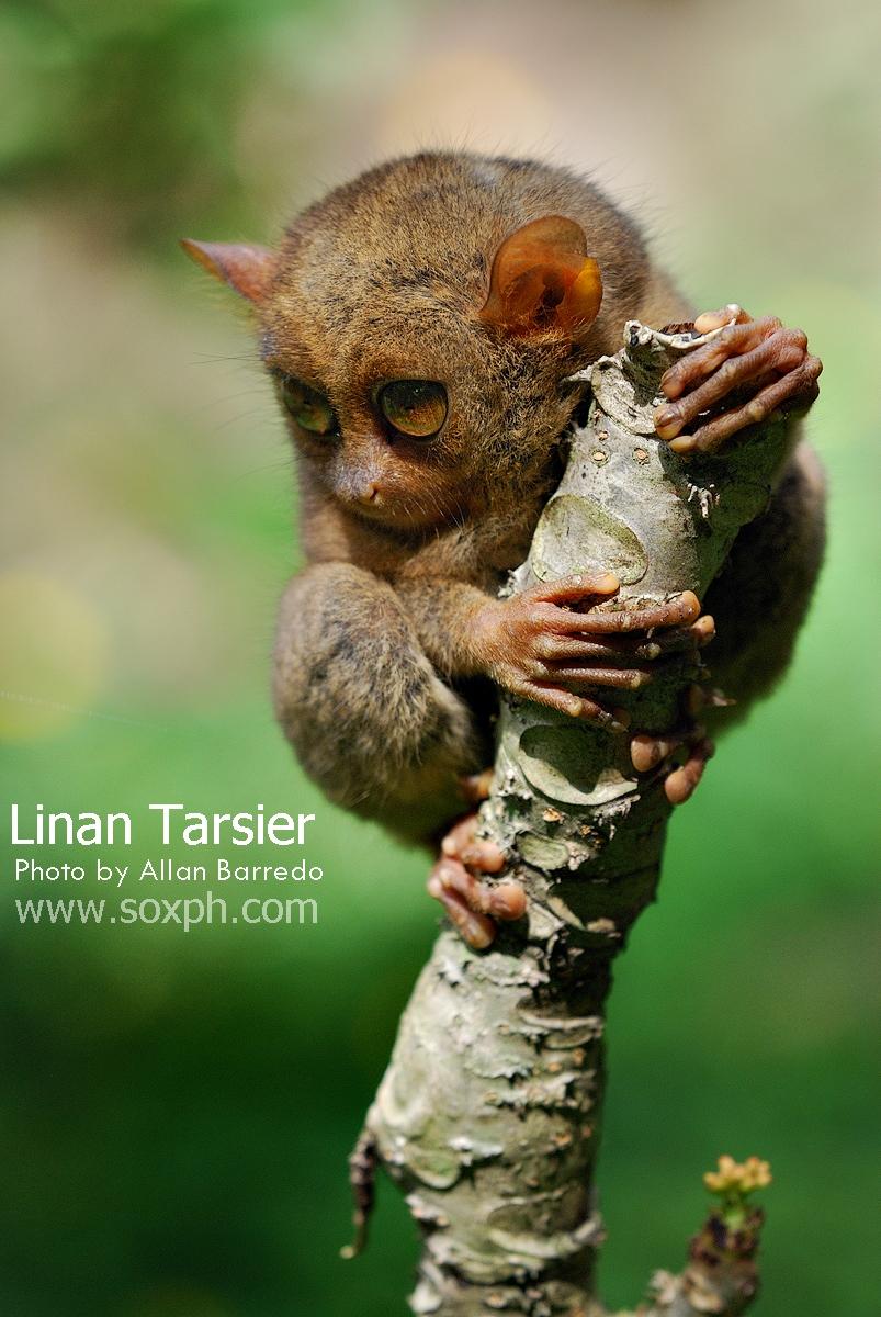 Linan Tarsier