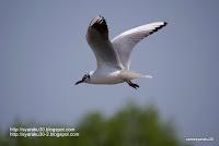 ユリカモメの飛翔写真