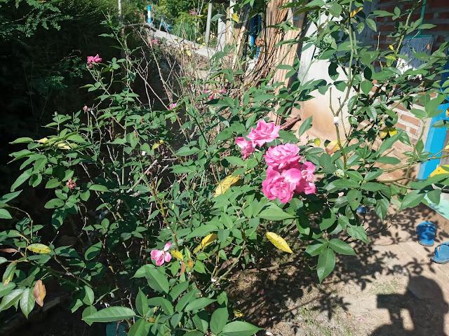 Bunga Mawar Merah dan Mawar Putih