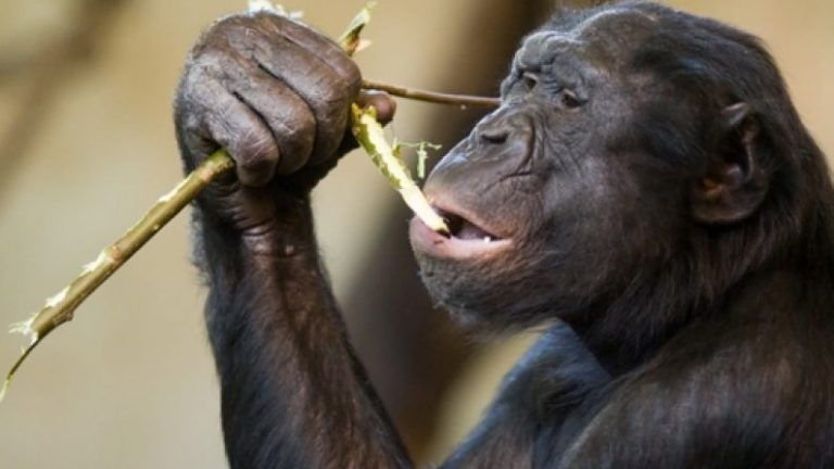 This Bonobo Starts Fires, Cooks His Own Food, AND Knows 3,000 English Words [Watch]