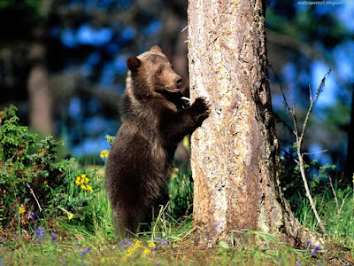 bears normal resolution hd desktop background wallpaper