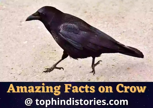Detail Information about Crow in Hindi (20+ Facts & Essay)