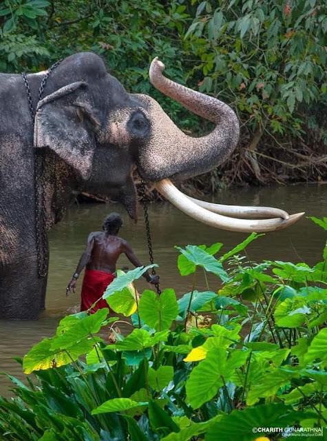 අභිමානයක් වූ - නැදුන්ගමුවේ රාජා ඇතා 🐘🐘🙏 (Nadungamuwe Raja Atha) - Your Choice Way