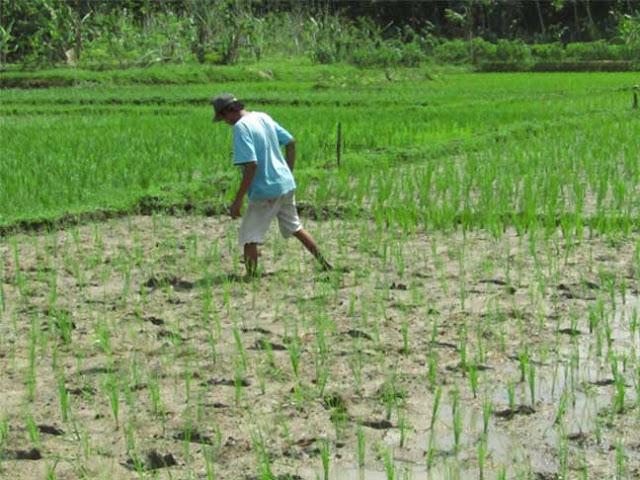 Cara menanam padi