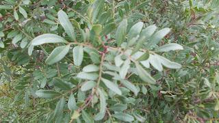 mastik tree