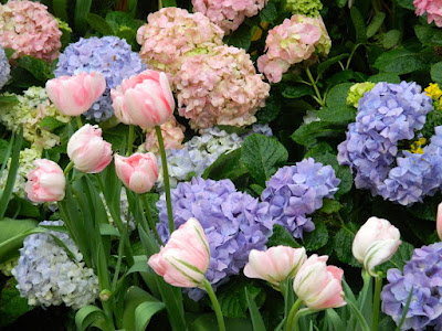 Florist Hydrangea macrophylla and pink Parrot tulips at the Centennial Park Conservatory Easter Flower Show by garden muses-not another Toronto gardening blog