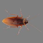 roach in spanish