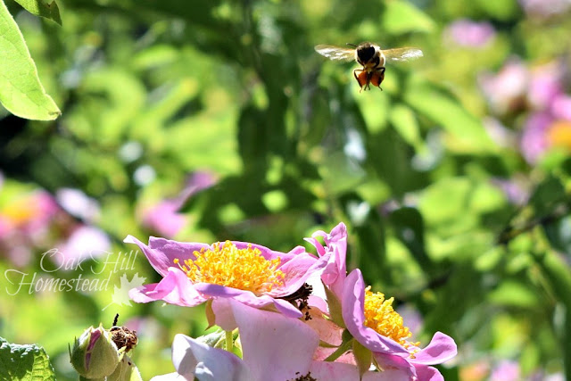 A bee gathering pollen from wild roses.