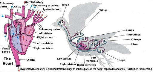 Bird's circulatory system