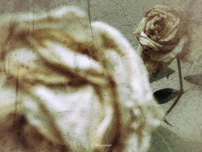 Rose 壁紙用写真 バラ