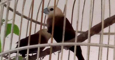 Burung Peking Emprit Haji Burung Hias Yang Sudah Mulai Langka Hobi Si Petani