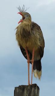 Red-legged Seriema