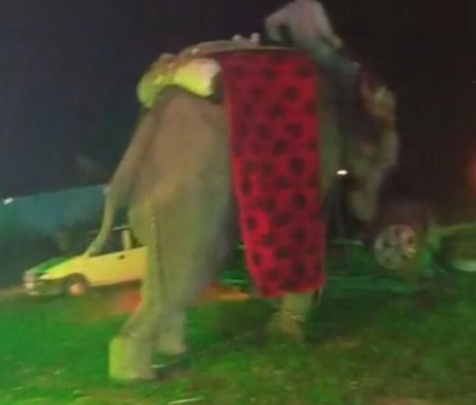 शादी समारोह में बारात संग आया हाथी हुआ मतवाला, तब दूल्हे ने क्या किया, देखें वीडियो