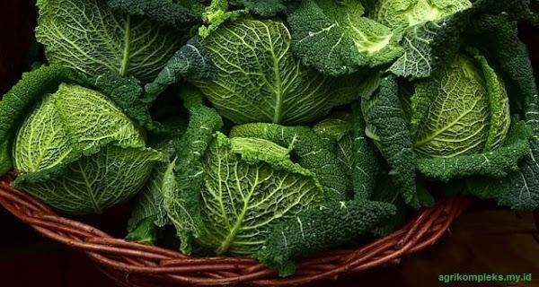 Cara Budidaya Sayuran Kubis