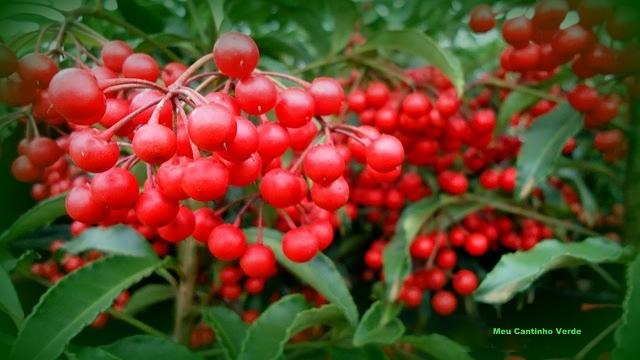 Fruto ardisia
