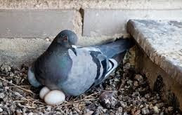 Can I touch pigeon eggs