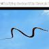 हवा में कैसे उड़ पाते हैं ये सांप– How The Flying Snakes Glide Through Air