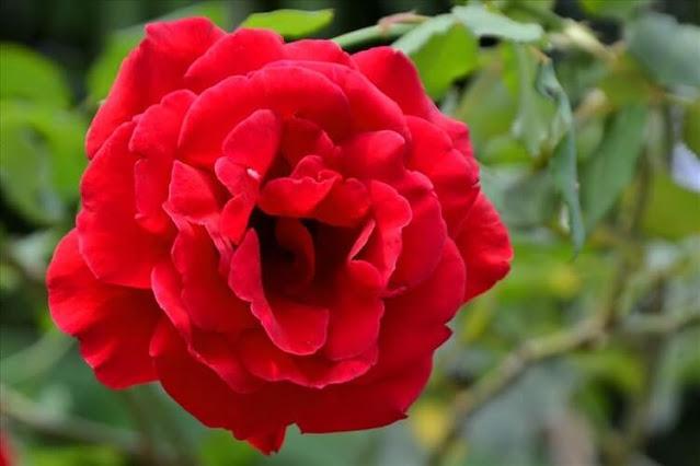 Các giống hoa hồng tại Vườn hồng Tư Thắng 2