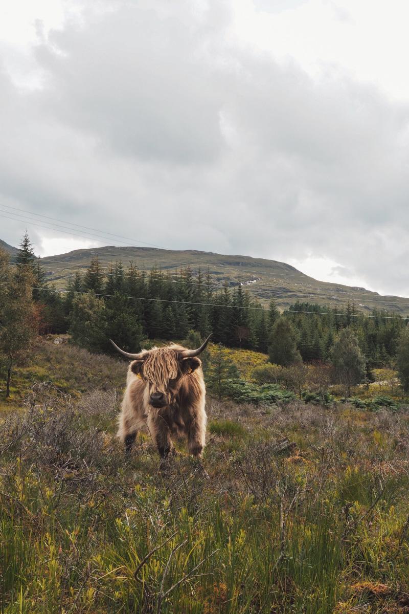 Vache des Highlands en Ecosse