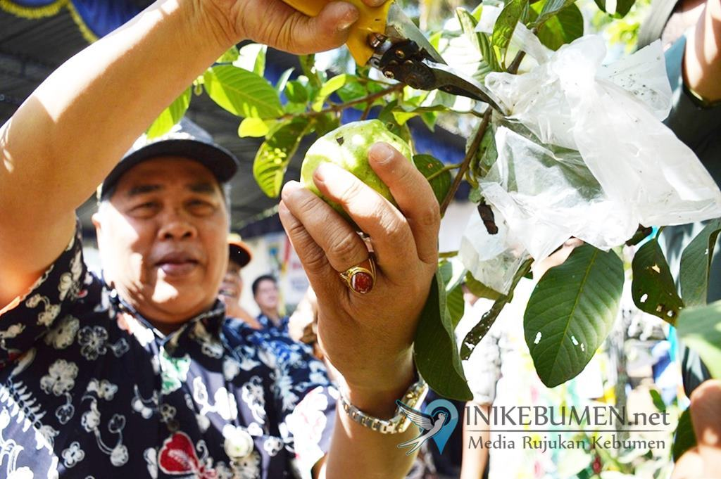 Wisata Petik Jambu Kristal Cocok Dikembangkan di Desa Wergonayan