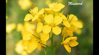 Mustard Flor de Bach
