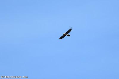 Trencalòs (Gypaetus barbatus)