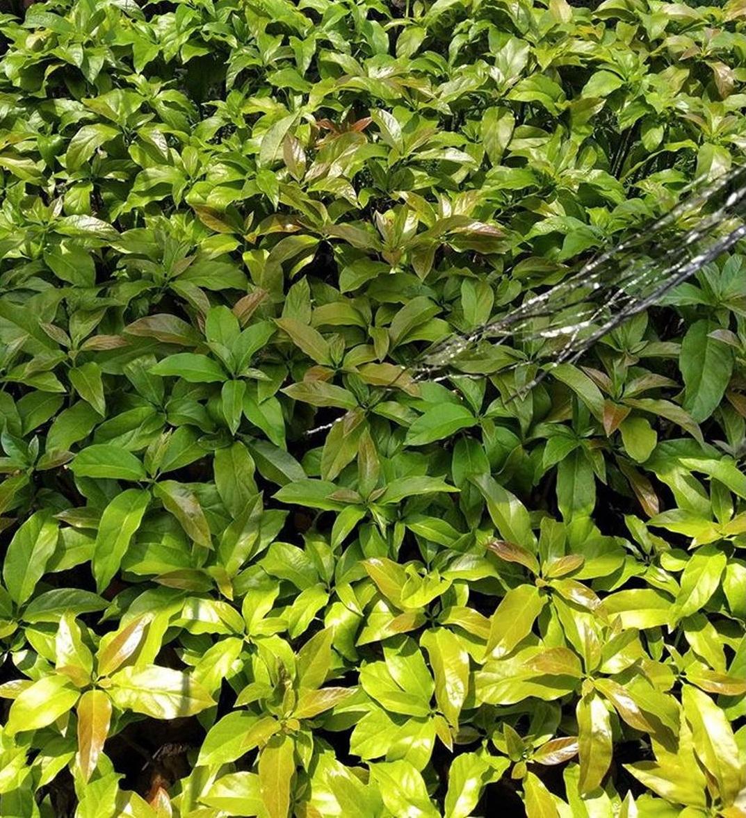 Jaminan Mutu! New Bibit unggul alpukat wina okulasi cepat buah Kota Bekasi #bibit buah genjah