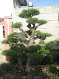jual pohon cemara udang