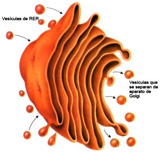 Dibujo del Aparato de Golgi a color para niños