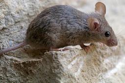 Pemberian Anak Tikus Bagi Ayam Aduan Jadi Pemberani
