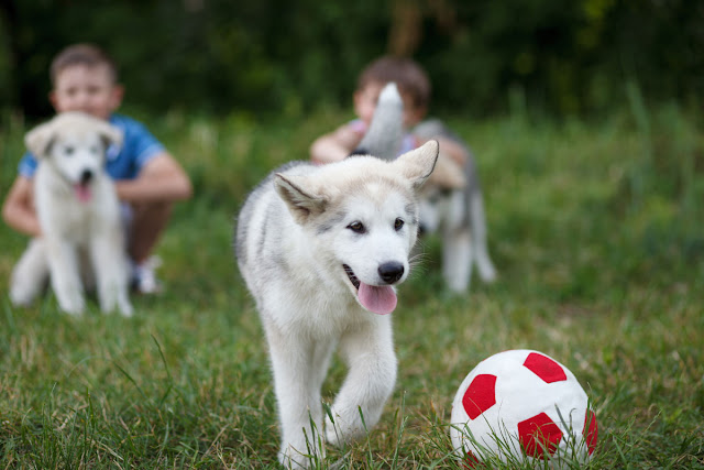 Puppies raised in a home are better prepared for life as a pet. Malamute puppies pictured