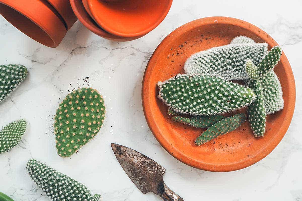 kaktus-dalam-pot-pelajari-cara-menanamnya