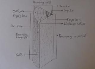 Bidang pengamatan pada kayu terdiri dari penampang transversal, penampang radial, dan penampang tangensial. Penampang transversal pada kayu terletak searah empulur, penampang radial terletak sejajar jari-jari kayu, dan penampang tangensial tegak lurus dengan penampang radialnya.