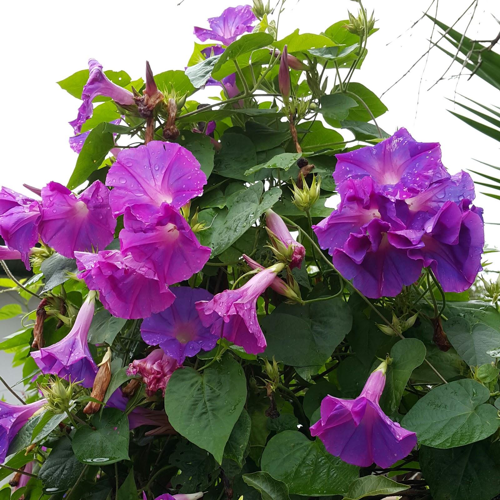 Verdade aspas convolvulaceae ipomea purpurea for Ipomea purpurea