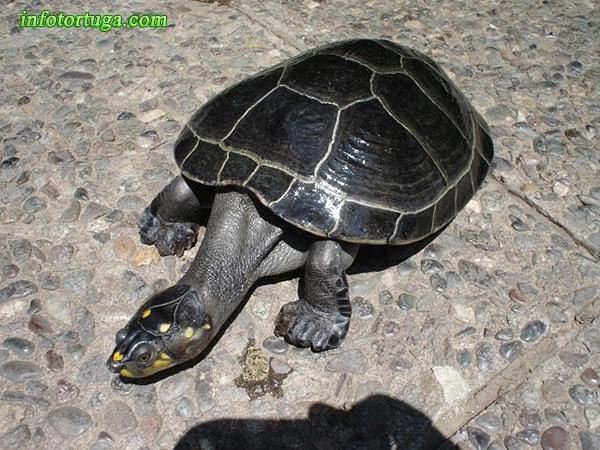 Podocnemis unifilis - Tortuga Terecay