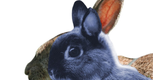 Brachy breeds - not just dogs! Rabbits too.