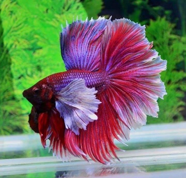 Image Beautiful Betta Fish Dombo Ear