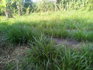 rumput odot untuk penggemukan ternak