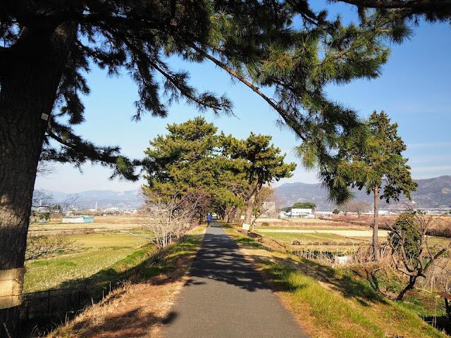 酒匂川サイクリングロード 松並木
