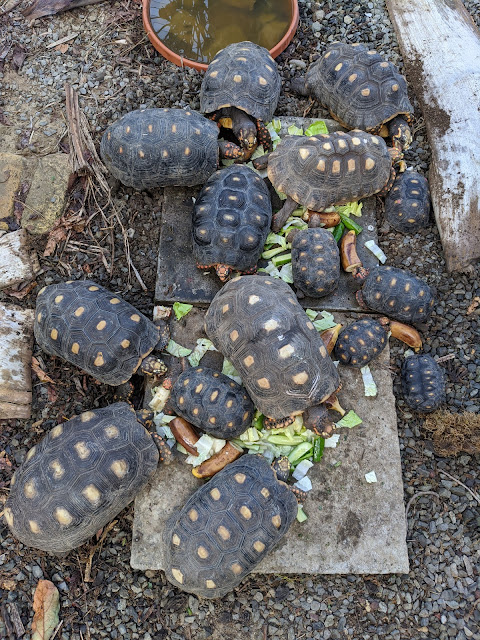 Tortoise Spotlight Two: Meet Cupid!