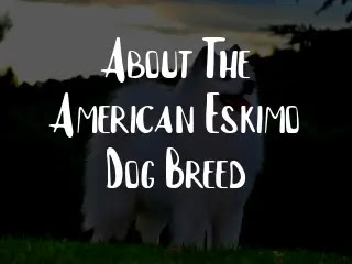 About The American Eskimo Dog Breed